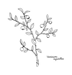 Ink drawing plant blueberries vector