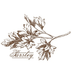 Parsley hand drawing vector image vector image