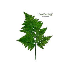 green leatherleaf fern hand draw vector image