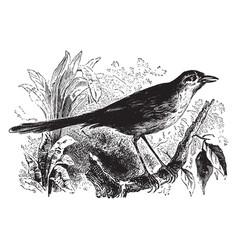 Spotted warbler vintage vector