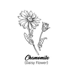 Chamomile freehand black ink sketch vector