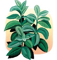 Seedlings of peppermint vector