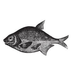 Freshwater fish engraving vector