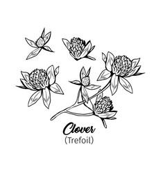 clover flowers black ink sketches set vector image