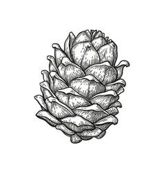 Ink sketch of pine cone vector