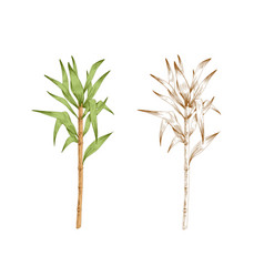 Colored sugarcane stem with leaves and outlined vector