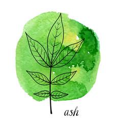 Leaf ash tree vector