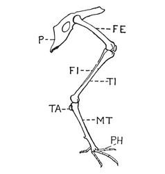 Leg of bird vintage vector