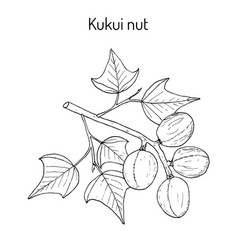 kukui nut medicinal plant vector image