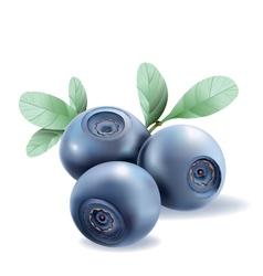Blueberries vector