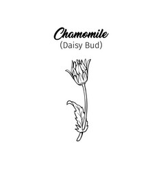 Chamomile bud freehand black ink sketch vector