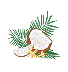 detailed botanical drawing cracked coconut vector image