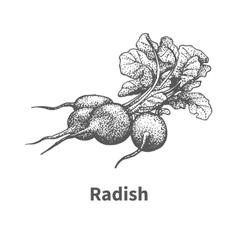 Hand-drawn radish vector