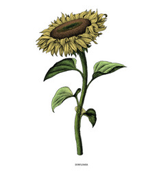 sunflower hand drawing vintage clip art isolated vector image