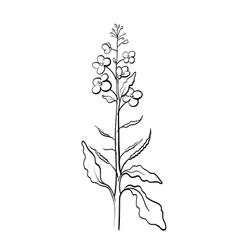 Canola mustard plant organic food vector