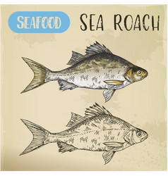 sketch of common sea roach or slater vector image