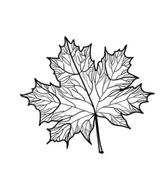 hand drawn maple leaf isolated vector image vector image