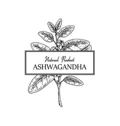 Hand drawn ashwagandha design isolated on white vector