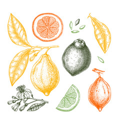 Ink hand drawn citrus fruits - lemon branch vector