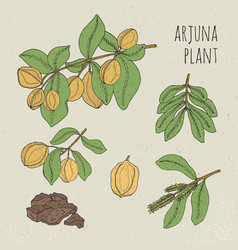 Arjuna medical botanical ayurvedic tree plant vector