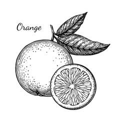 Ink sketch of orange vector