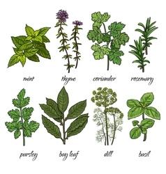Set of rosemary mint thyme coriander parsley vector