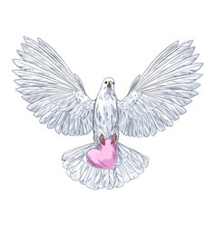White dove in flight holding pink heart vector