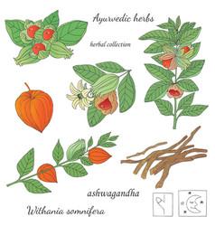 A plant ashwagandha vector