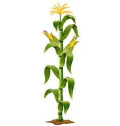 Corn plant vector