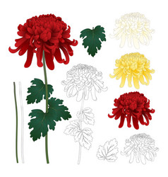 Red white yellow chrysanthemum with outline vector