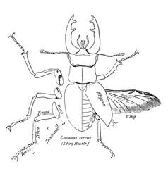 Stag beetle vintage vector