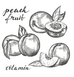 Fruit peach set hand drawn vector