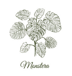 monstera plant skech monstera hand drawing vector image vector image