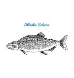 Atlantic salmon spawn river and lake fish sea vector