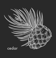 Cedar cone with needle leaves hand drawn sketch vector