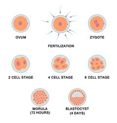 Development human embryo vector