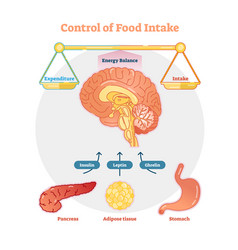 food intake control diagram vector image