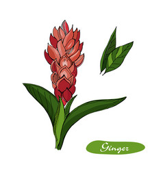 Ginger hand drawn detailed vector