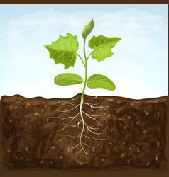 Young seedling vegetable grows in fertile soil vector