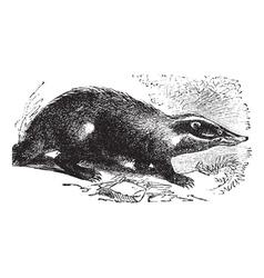 European Badger vintage engraving vector image vector image