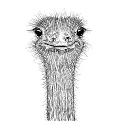 ostrich sketch head closeup vector image