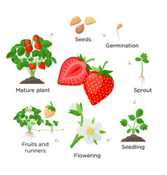 strawberry plant growing stages from seeds vector image