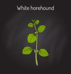 White horehound marrubium vulgare medicinal vector
