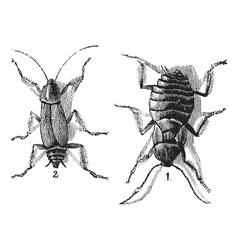 Cockroaches engraving vector image vector image