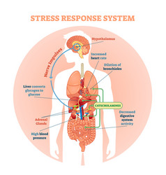 stress response system diagram vector image vector image