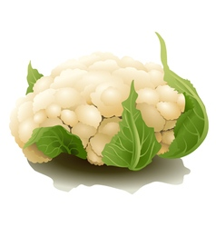 Cauliflower isolated vector image
