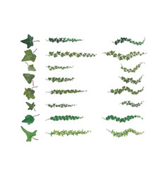 ivy branches species collection vector image