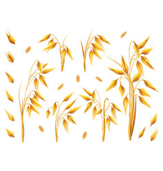 realistic bunch of oats or barley isolated on vector image