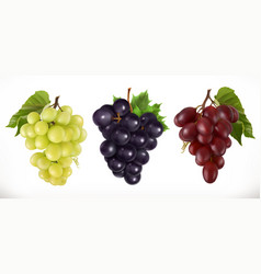 Red and white table grapes wine grapes fresh vector