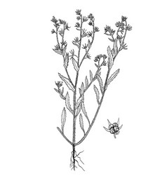 lycopsis arvensis botanical hand drawn pictures vector image